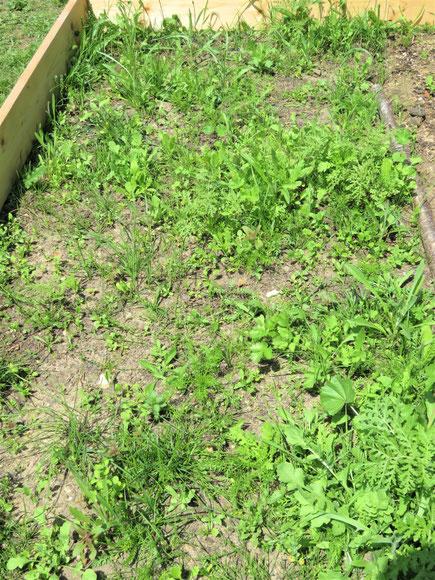 Blumenwiese 6 Wochen nach der Aussaat
