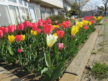 中庭に咲くチューリップ。小学校の体育館で笑顔を並べる子どもたちのように見えました