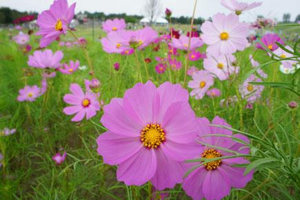 咲き始めたコスモスたち。今年はどんな秋になるでしょうか(画像をクリックして拡大)