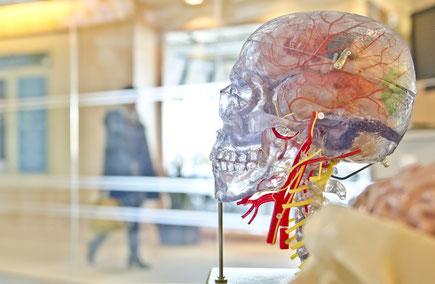 Nervensystem Gehirn Schädel