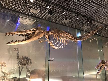 【ドルドン・アトロクス(バシロサウルス科/始新世中期 約3700万年前)】