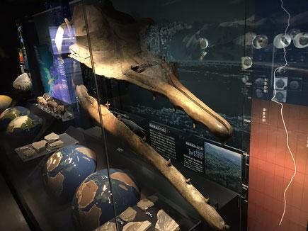 地球館B2展示【ヤノケトゥス頭骨(ヤノケトゥス科/古第三紀~始新世)】