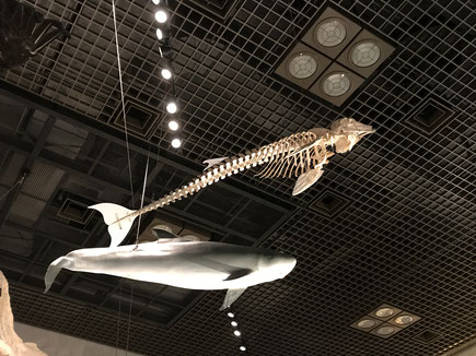 地球館1F展示【コマッコウの骨格標本と実物大模型】