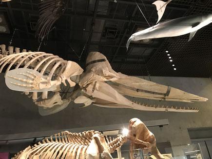 地球館1F展示【マッコウクジラ骨格標本】
