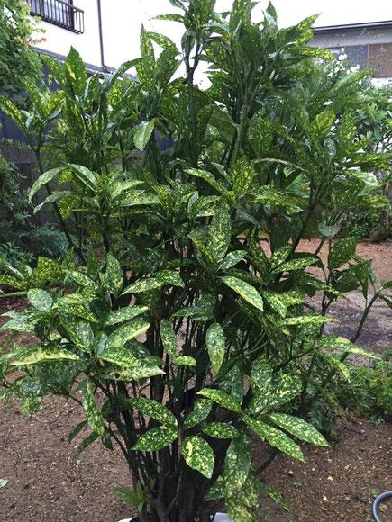 """最近は""""斑入り""""の植物が気分でして♪ この斑入りのアオキは日陰でも育ってくれるので、暗い場所に植えると周りを明るくしてくれます♪"""