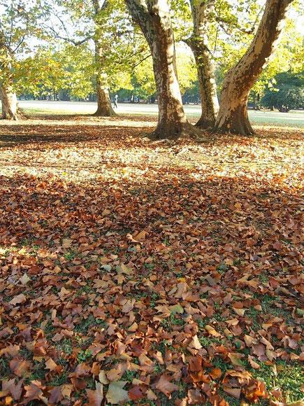 11月11日(2014) プラタナス(鈴懸の木)の落ち葉:野川公園