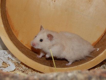Der Hamster soll mit geradem Rücken laufen können