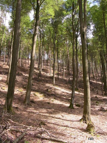 Ausgelichteter Pfälzerwald - naturnaher Wald sieht anders aus!