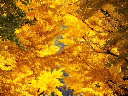 Gold-gefärbtes Blattwerk an Bäumen.