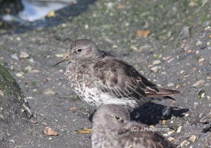 Meerstrandläufer (Calidris maritima) Adulte Vögel im Schlichtkleid (Küste bei Westkapelle, NL) [September]