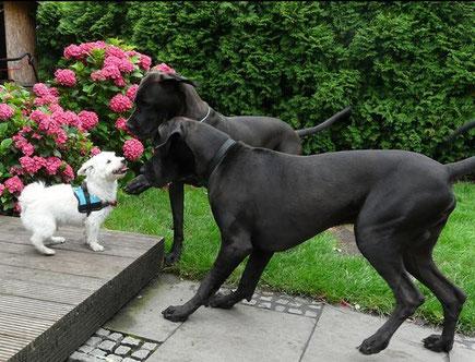 Deutsche Doggen schwarz. Lanzelot von den elf Quellen, Soraya vom Römersee mit Herr Schröder