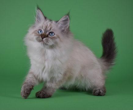 Gatto siberiano e peso