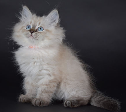Cucciolo Gatto Siberiano