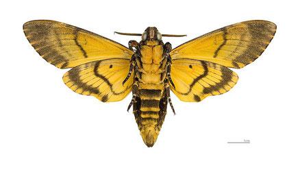 Totenkopfschwärmer_https://upload.wikimedia.org/wikipedia/commons/b/b7/Acherontia_atropos_MHNT_ventre.jpg