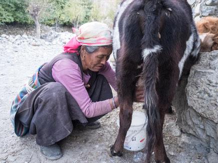 Nepalesin beim Kuh melken. Krass, so weit komm ich nicht in die Hocke