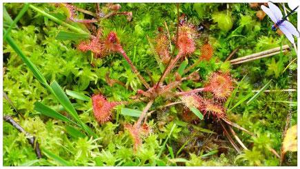 Sonnentau, fleischfressende Pflanze
