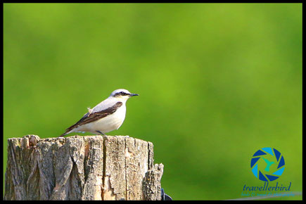 Wheatear on a trunk