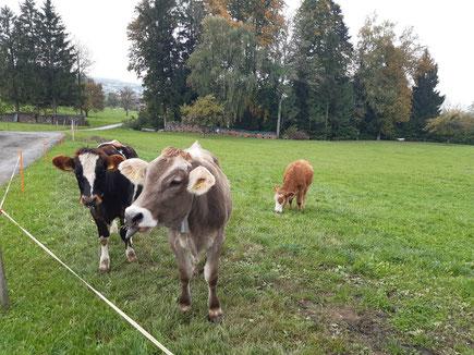 Kühe auf der Weide © jd