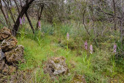 Biotop mit Riesenknabenkraut (Barlia metlesicsiana) bei Chio