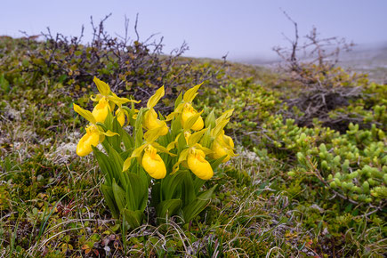 Behaarter Frauenschuh (Cypripedium pubescens) in der Tundra Neufundlands