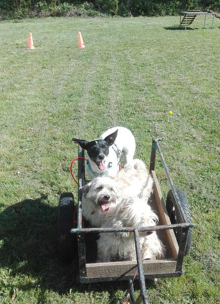 Drei Hunde in einem Karren