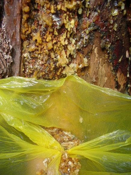 Eine weit öffnende Plastiktüte darunter fängt die kleinen, leicht klebrigen Harztränen einer Douglasie (Pseudotsuga menziesii) perfekt auf.