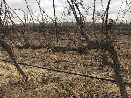 Viñedo con riego por goteo en Villafranca del Penedés