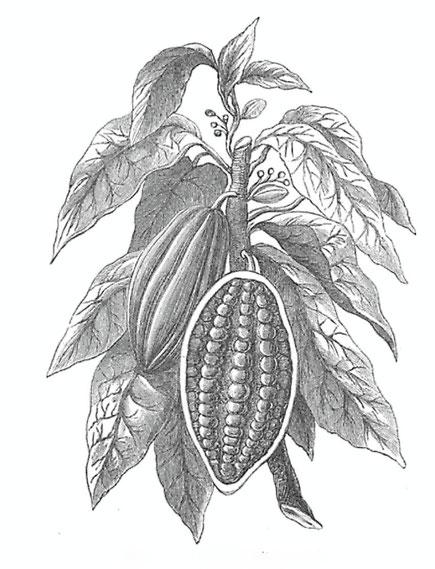 Zeichnung einer Kakaofrucht mit Bohnen