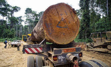 Est-Cameroun. Exploitation du bois