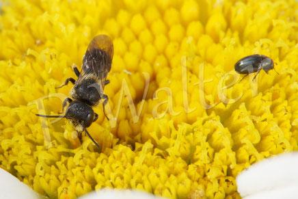 04.07.2016 : Löcherbiene auf einer Margarite