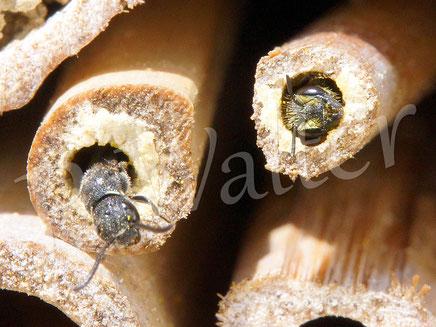 04.07.2016 : recht eine Löcherbiene, der Nistgang der linken Nachbarin wird gerade von einer Keulhornwespe parasitiert ...