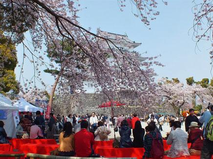 桜満開の小田原城天守閣広場(平成31年4月7日)