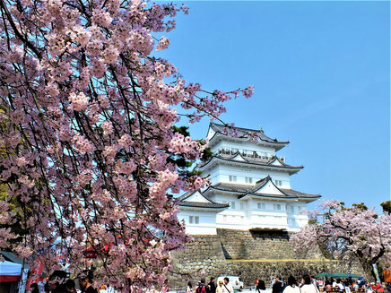平成31年4月7日 満開の桜と小田原城天守閣