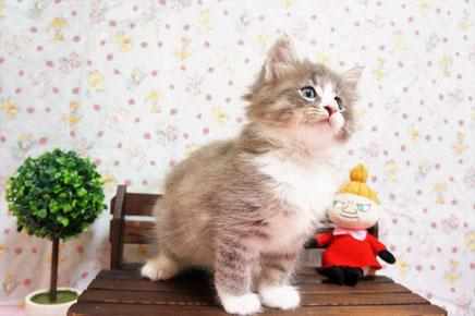 ノルウェージャン子猫