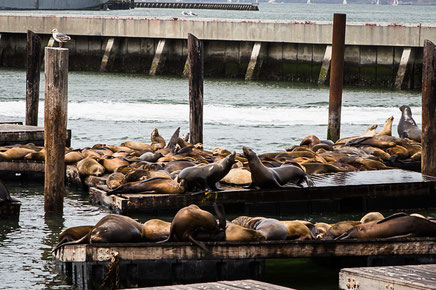 road trip californie, californie, usa, hit z road california, rtl2 by zégut, rachel jabot ferreiro, erjihef photo, san francisco, pier 39, sea lions, lions de mer