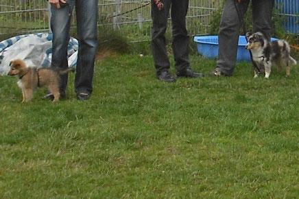 Vino Ben aus Ehmen besucht die Welpengruppe D.O.G.S. in Isenbüttel. Mit dabei ist der Sheltie Leo aus Mörse.