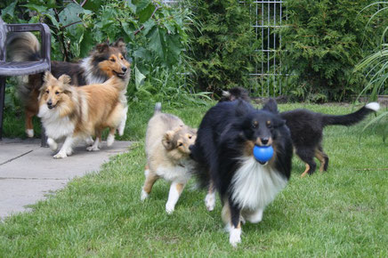 Basco bei den Atocha Shelties