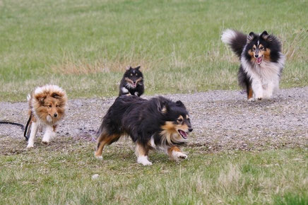 Shelties of Atocha in Aktion - Betty, Happy Enya, Cathy und Franjo