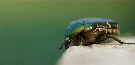 Rosenkäfer; Rose beetle