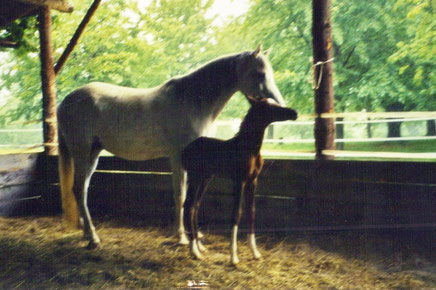 *2006 gray Arabian colt