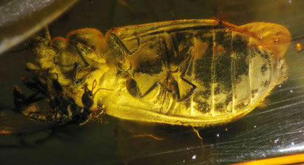 Инклюзы в янтаре:  Coleoptera, Trogossitidae