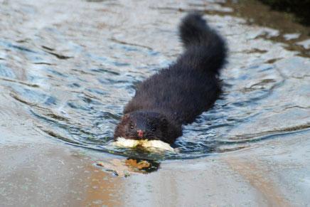 Der Amerikanische Nerz oder Mink frisst häufig auch Jungvögel. Foto: An. Grimm-Seyfarth