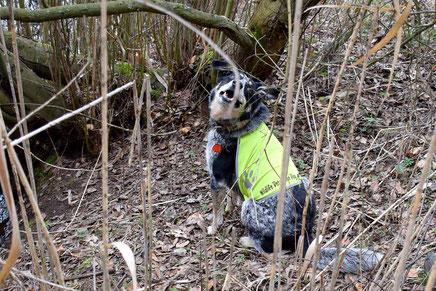 Artenspürhund Bagheera hat Fischotterkot gefunden. Foto: A. Grimm-Seyfarth