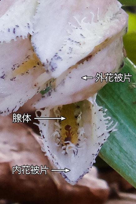 #13 コシノコバイモの内花被片と内面の様子(外花被片、内花被片、腺体)