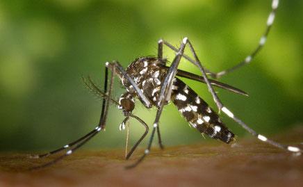 Femelle Aedes albopictus, moustique tigre, en train de prendre un repas de sang.