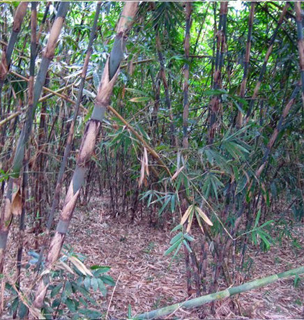 Verzaubernde Atmosphäre im Bambushain