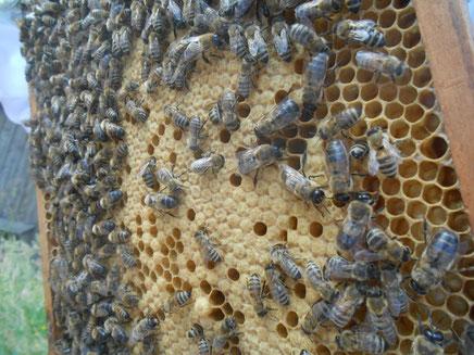 Bienen entwickeln sich