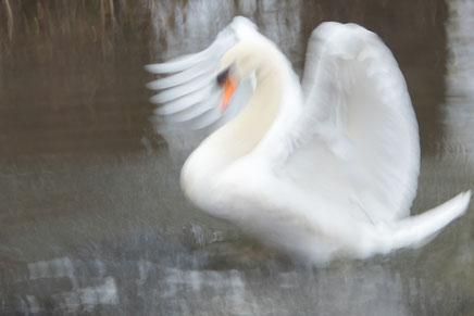 Schwan Engel