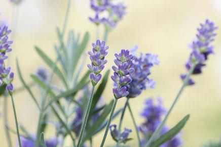 zarter-lavendel-lavendula