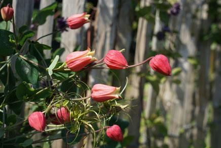 ©Javoy Plantes, Clematis Texensis